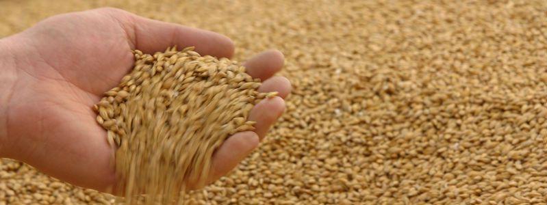 Из пшеницы делают несколько вид круп