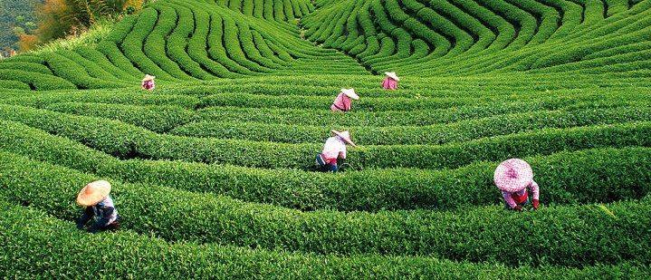 Плантация черного чая
